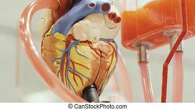ludzki, funkcjonowanie, robotic, wzór, anatomiczny, zabawka, serce, circulated, liquid.