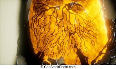 ludzki, organy, ciało, kontrast, mri