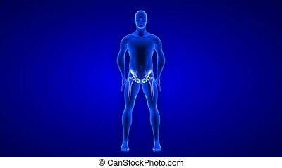 ludzki, pętla, anatomia, animation., ból, seamless, -, tło, biodro, skandować, ciało, 3d, render, błękitny