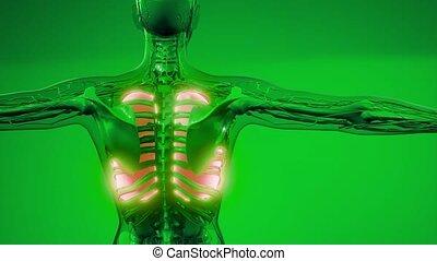 ludzki, płuca, rentgenologia, egzamin