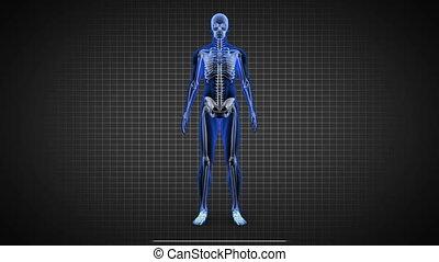 ludzki, pokaz, skandować, pełny, szkielet