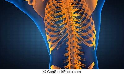 ludzki, radiografia, skandować
