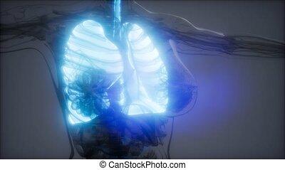 ludzki, rentgenologia, egzamin, płuca