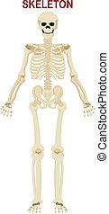 ludzki szkielet, białe tło, odizolowany