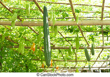 luffa, calabaza, greenhouse., dentro, planta