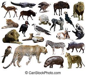 luipaard, anderen, animals., set, afrikaan