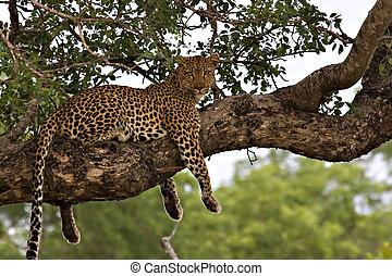 luipaard, boompje