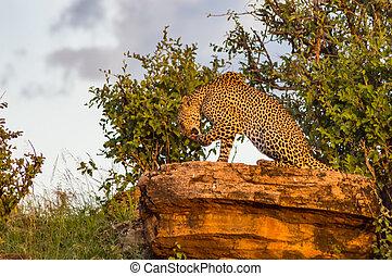 luipaard, het baden, park, samburu, rots