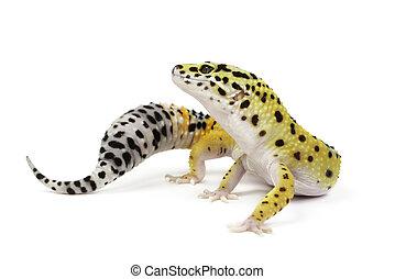 luipaard, witte , gekko, achtergrond.
