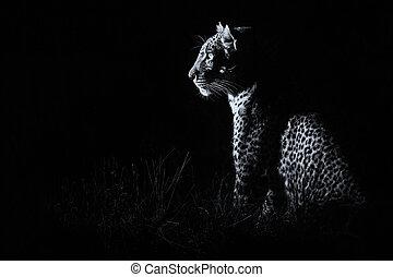 luipaard, zittende , in, duisternis, jacht, prooi,...