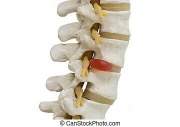 Lumabar spine model isolated on white background