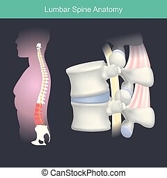 Lumbar Spine Anatomy.