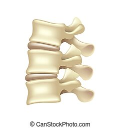 Lumbar spine isolated on white vector