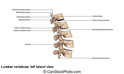 Lumbar Vertebrae_Lateral view - The human vertebral column...