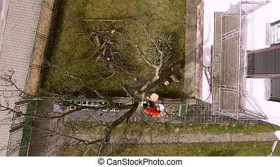 Lumberjack with saw and harness pruning a tree. - Lumberjack...