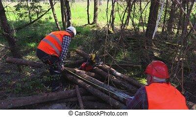 Lumberjacks measures logs