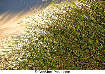 lumière bleue, ciel, dos, marram herbe, européen