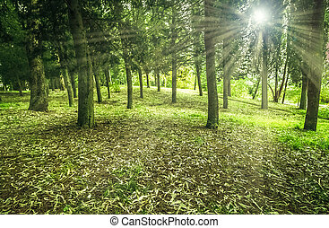 lumière, ensoleillé, arbres, matin, tôt, forêt verte, rayon
