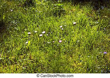 lumière, merveilleux, herbe, matin