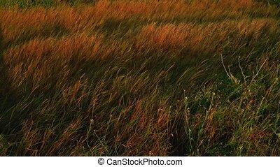 lumière soleil, onduler, champ, coucher soleil, backlit, herbe sauvage, vent