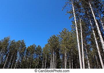 luminoso azul, céus, e, alto, pinhos