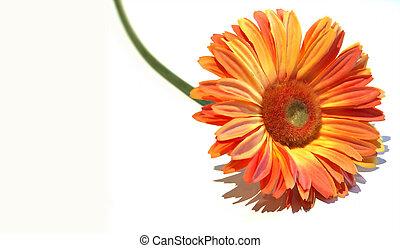 luminoso, flor alaranjada