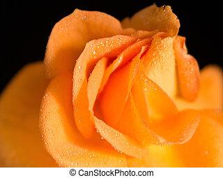 luminoso, pétalas, de, rosa alaranjada