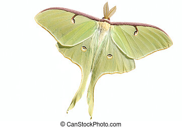 A live large, nocturnal Luna moth (Actias luna) Splendid specimen with wings spread showing the eyespots. Isolated. 12MP camera.