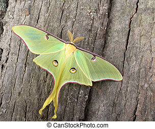 Luna Moth, Actias luna - Luna moth, Actias luna, on side of...