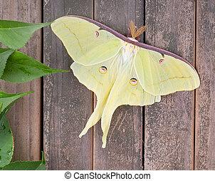 Luna moth, Actias luna, on a wood background