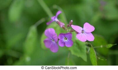 Lunaria. Purple honesty flowers on blurred green background...