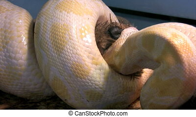 Lunch - burmese python squeezes and suffocates rabbit