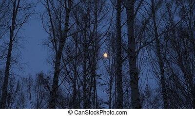 lune, entiers, crépuscule, bouleau, bosquet