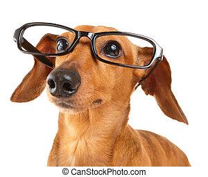lunettes, haut, teckel, fin, chien