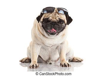 lunettes soleil, chien, carlin