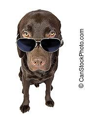 lunettes soleil, labrador, frais