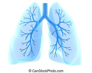 lung and bronchi - 3d rendered anatomy illustration of human...