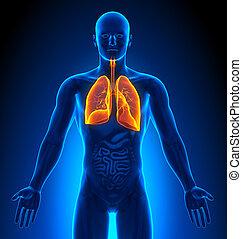 lungen, medizin, -, imaging, mann, organe