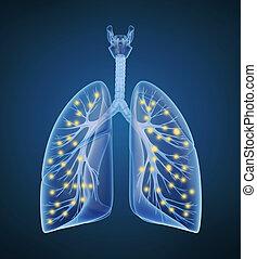 lungen, menschliche , sauerstoff, bronchi