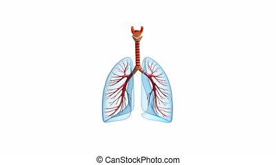 lungen, -, system, lungen
