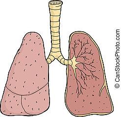 lunger, kors sektion
