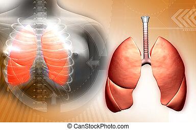 lunger, menneske krop