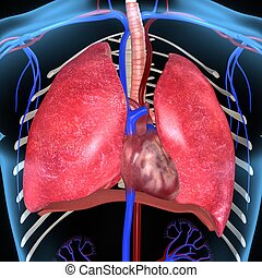 Lungs and Heart - The human lungs are a pair of large,...