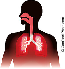Lungs and human respiration. Anatomy graphic, Illustration.