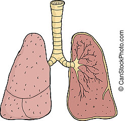 Lungs Cross Section - Isolated pair of human lung cross-...