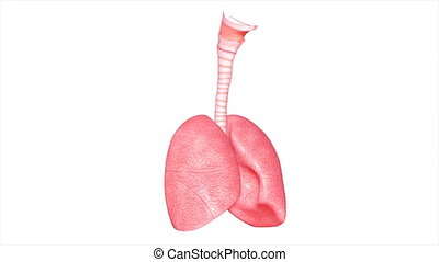 Lungs - The lungs are the essential respiration organ and...
