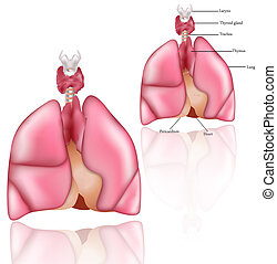Lungs, Thymus, thyroid gland - Thymus, larynx, thyroid gland...