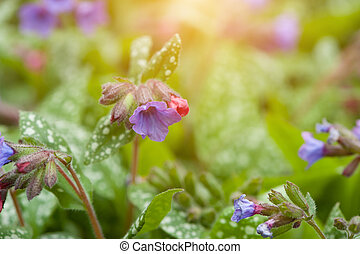 Lungwort Flowers Pulmonaria Officinalis