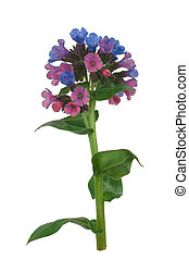 Lungwort medicinal (Pulmonaria officinalis)