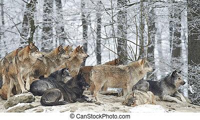 lupi, pacco